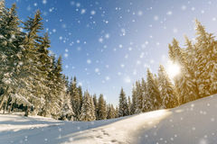 Pine trees in mountains and falling snow in fairy tale winter  Stock Images
