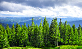 Pine trees in mountains. Forrest of green pine trees in mountains Stock Photo