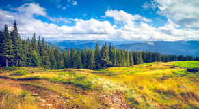 Pine trees in mountains. Forrest of green pine trees in Carpathian mountains, Ukraine Stock Photo