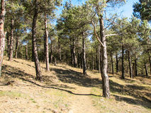 Pine trees at mountains in sunny day Royalty Free Stock Photo