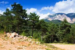 Pine trees at mountains Royalty Free Stock Photo