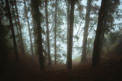 Pine trees in mysterious foggy forest. Rainy and misty weather. Fog comming from Cova crater into forest. Santo Antao. Mysterious foggy pine forest. Rainy and stock image