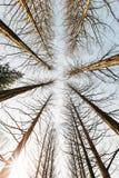 Pine trees at Nami island, Korea. Royalty Free Stock Images