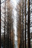 Pine trees of Nami Island, Korea during winter Royalty Free Stock Photos