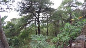 Pine trees and natural vegetation found in Mountain Province. Baguio, Philippines - April 1, 2016: pine trees and natural vegetation found in Mountain Province stock footage