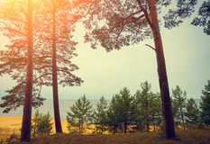 Pine trees near sea Stock Photos