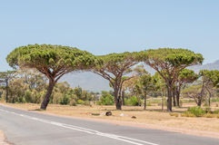 Pine trees near Somerset West Stock Photography