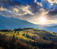 Pine trees near valley in mountains  on hillside at sunset Royalty Free Stock Photo