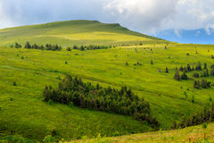 Pine trees near valley in mountains  on hillside under sky with clouds. Mountain summer landscape. pine trees near meadow and forest on hillside under  sky with Royalty Free Stock Image