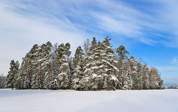 Pine trees near winter park Stock Photos