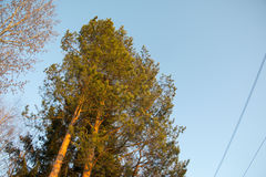 Pine trees at a nice day Royalty Free Stock Photos