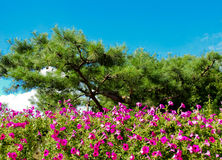 Pine trees with nice violet flowers. Royalty Free Stock Photo