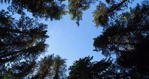 Pine trees night sky stars from beneath. 4k zoom in. stock video