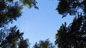 Pine trees night sky stars from beneath. Spiral zoom stock video