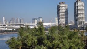 Pine trees at Odaiba park in Tokyo, Japan.  stock footage