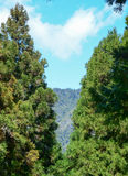 Pine trees at old forest in Alishan, Taiwan Royalty Free Stock Photo