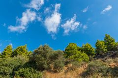 Pine trees and olives. Pine trees and olive trees on a hill with blue sky and white clouds. Skiathos island, Greece, 2018 stock image