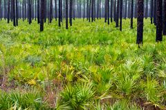 Pine Trees and Palmettos Stock Image