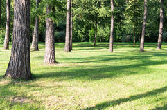 Pine trees in the park. background, nature. Pine trees in the park at evening. background, nature stock photo