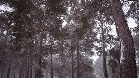 Pine trees in park covered with snow blizzard in winter park blizzard in pine park. stock video