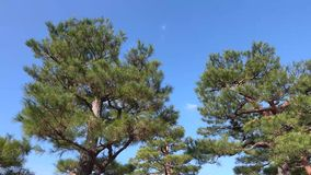 Pine trees at the park in Kyoto, Japan.  stock video footage