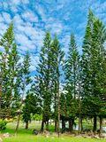 Pine trees in the park. Photos royalty free stock photos