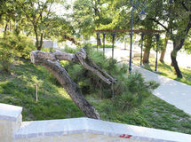 Pine trees park 3. Pin park on the seafront in Constanta Stock Image