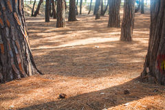 Pine trees park on Seashore of city Alba Adriatica in Italy, nature background. Royalty Free Stock Images