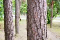 Pine trees in a park Stock Photos