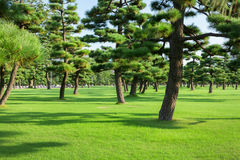 Pine trees park royalty free stock images