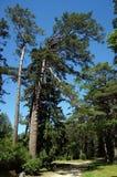 Pine trees. Stock Photo