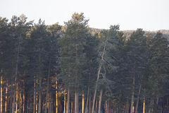 Pine trees photo. Photo of the pine forest Royalty Free Stock Photos