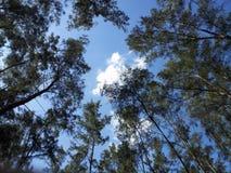 Pine trees Stock Photos