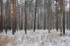 Pine trees photo. Winter birch and pine trees photo Royalty Free Stock Image