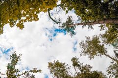 Pine trees. View from below into the sky royalty free stock photos