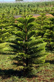 Pine trees plants Stock Images