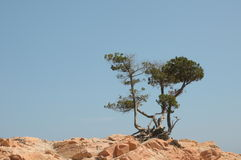 Pine trees on red rocks Stock Photography