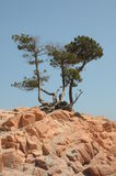 Pine trees on red rocks Royalty Free Stock Photography