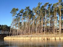 Pine trees on a river bank Royalty Free Stock Photo