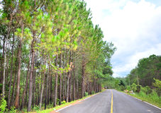 Pine trees with the road Stock Photos