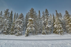 Pine Trees and Road covered with snow Royalty Free Stock Image