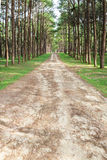 Pine trees and road. Freshly pine trees with non-asphalt road on a mountain side Stock Image