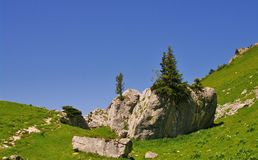 Pine trees on a rock. Against blue sky in chartreuse park in france Royalty Free Stock Image