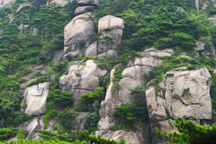 Pine trees on rocks. Pine trees grows on the rocks on the mount huangshan royalty free stock image