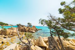 Pine trees on the rocks. In Capriccioli beach, Sardinia Royalty Free Stock Images