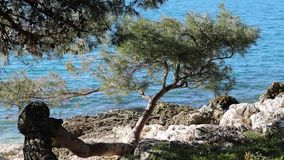 Pine trees on the rocky beach. With wind stock video