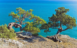 Pine trees on the rocky shore Royalty Free Stock Photo