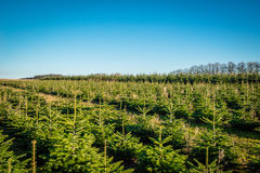 Pine trees on a row at a plantation Royalty Free Stock Images