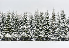 Pine trees in a row Stock Photo