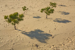 Pine trees on the sand Royalty Free Stock Images